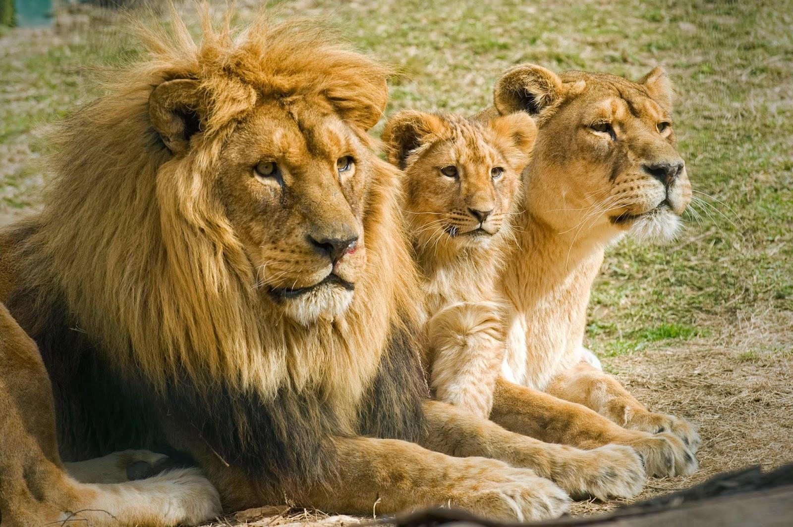 El León y su Belleza
