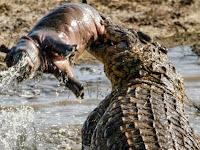 Buaya Besar 'Bermain' dengan Anak Kuda Nil