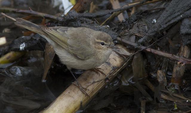 Birds, Birding, Photography, Tristas