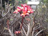 pohon kamboja bunga merah