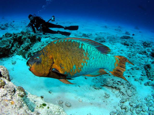 أجمل 10 أسماك ملونة في عالم البحار '' بالصور '' Rainbow-Parrot-Fish2