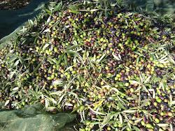 Colheita da azeitona