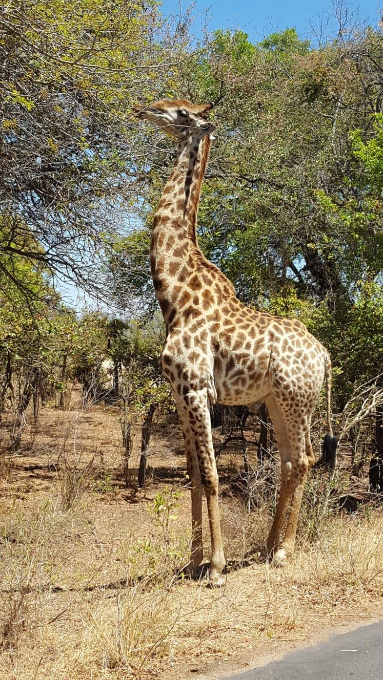 Giraffe fotografiert in Namibia