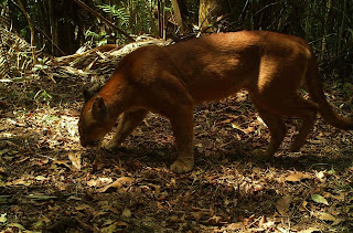 Puma em Itamarandiba/Foto: reproduzida