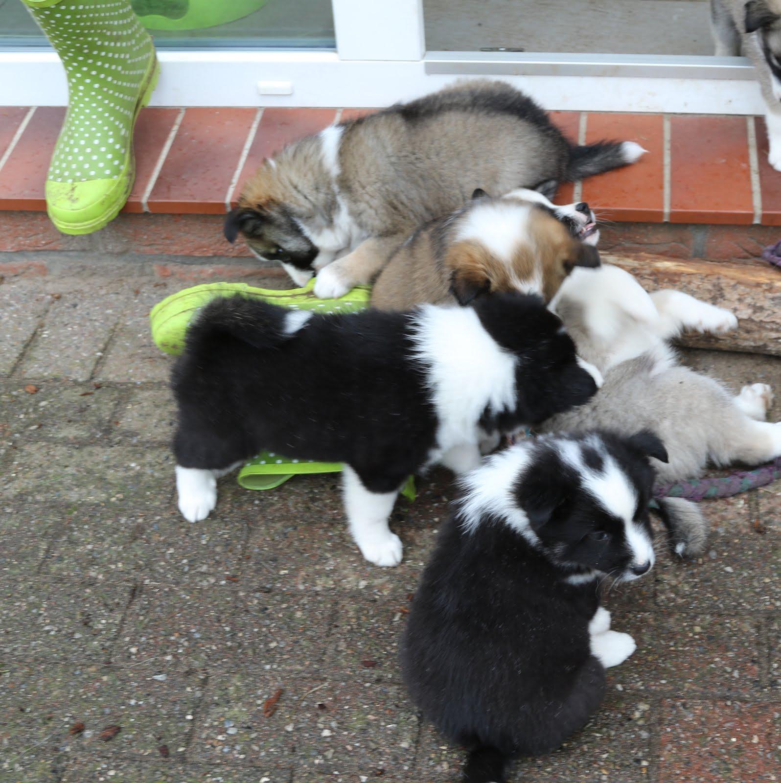 Islandhundewelpen suchen eine neue Familie