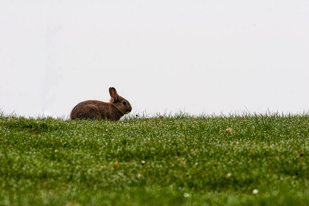 Rabbit - Dansteed, Milton Keynes 2014