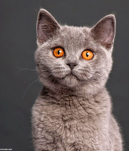 Photo chat british shorthair