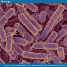 bacterias-intestino-obesidad
