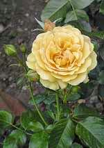 vidy roz