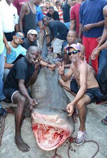 Atrapan tiburón en las América de 1,800 libras