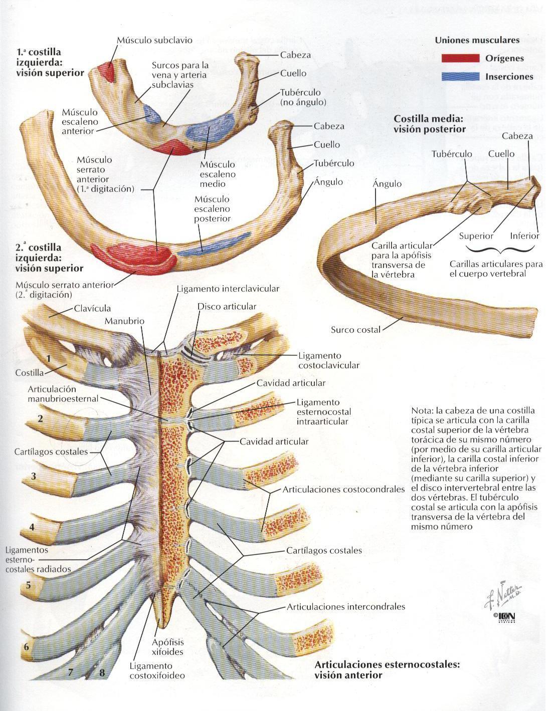 Perfecto Anatomía De Costillas Humanos Composición - Anatomía de Las ...