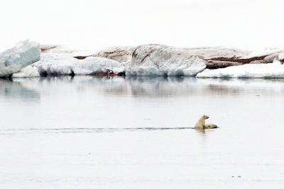 Un cachorro de oso polar que monta su madre hacia la orilla