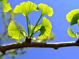 Ginkgo biloba, pianta curativa