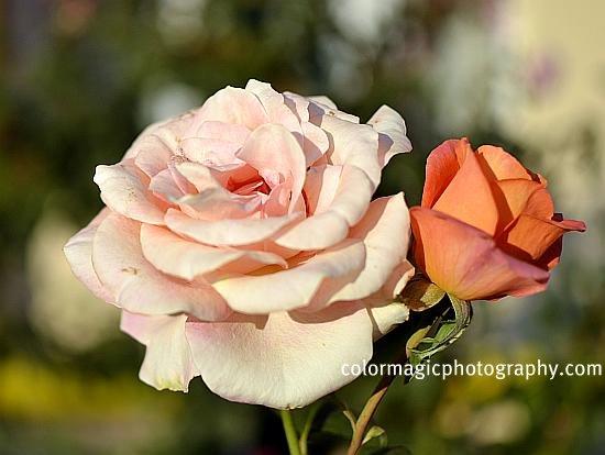 Last roses this autumn