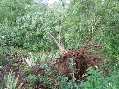 uprooted chinaberry tree