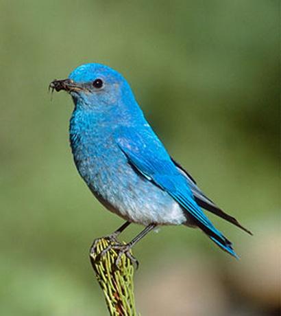 Bluebird animal wildlife Pictures of birds