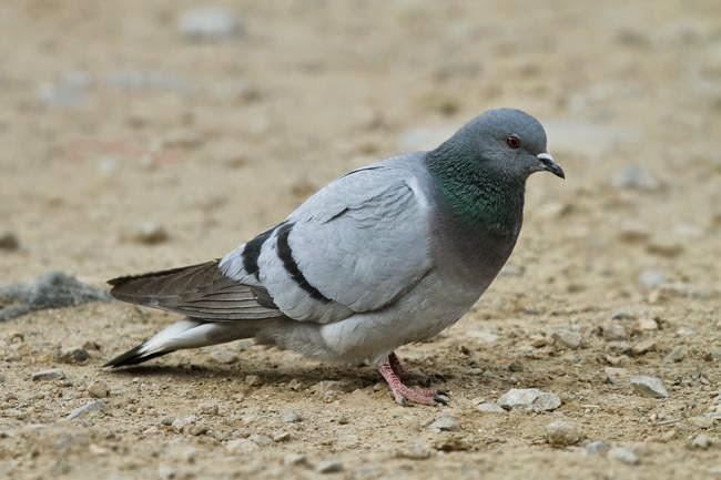 Hill pigeon Columba rupestris