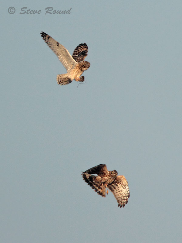hen harrier, bird, raptor, harrier, short-eared owl, fight