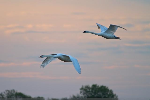 Knobbelzwaan -Mute Swan - Cygnus olor