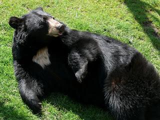 Black Bear america