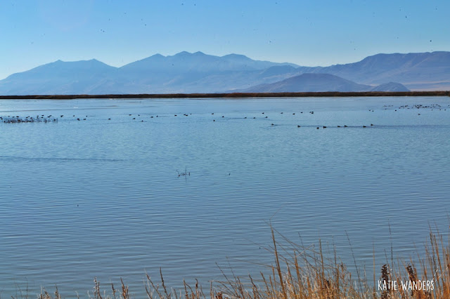 Birds at the Bear River Migratory Bird Refuge