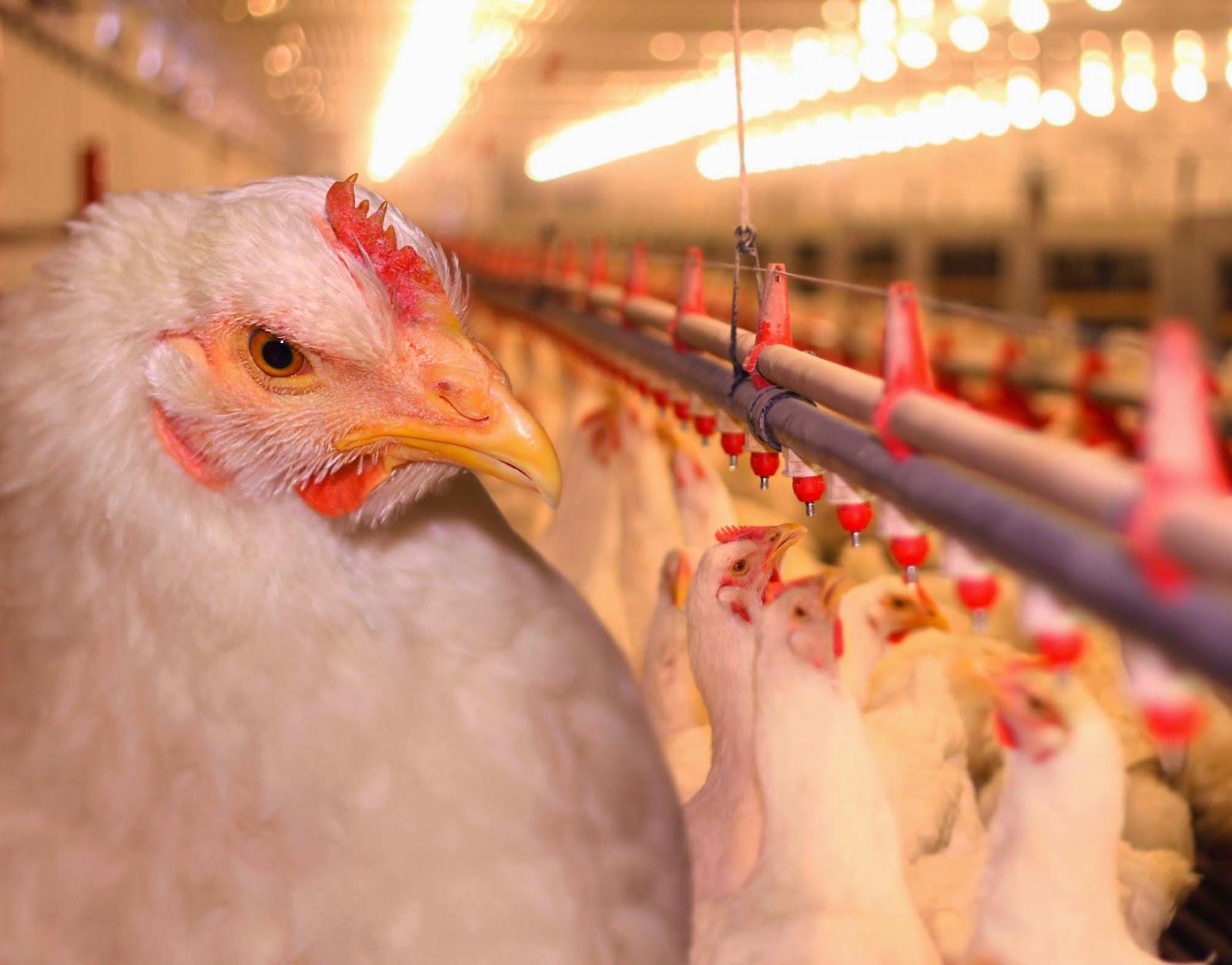 Рацион питания цыплят-бройлеров