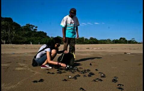 Dalam upaya melestarikan populasi penyu, di Pulau Sukamade ini terdapat petugas yang berwenang untuk mengambil telur telur penyu yang terdapat di area pantai yang setelah itu akan diangkat dan dibawa ke penangkaran.