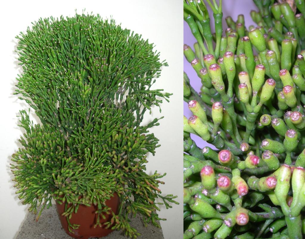 Viveros vangarden epifita brasile a for Cactus tipos y nombres