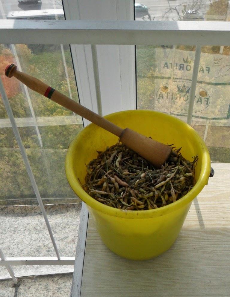 Извлекаю семена редиски из заготовленных стручков