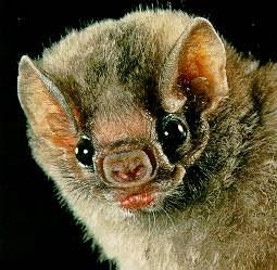A Verdade Sobre os Morcegos -  Reprodução