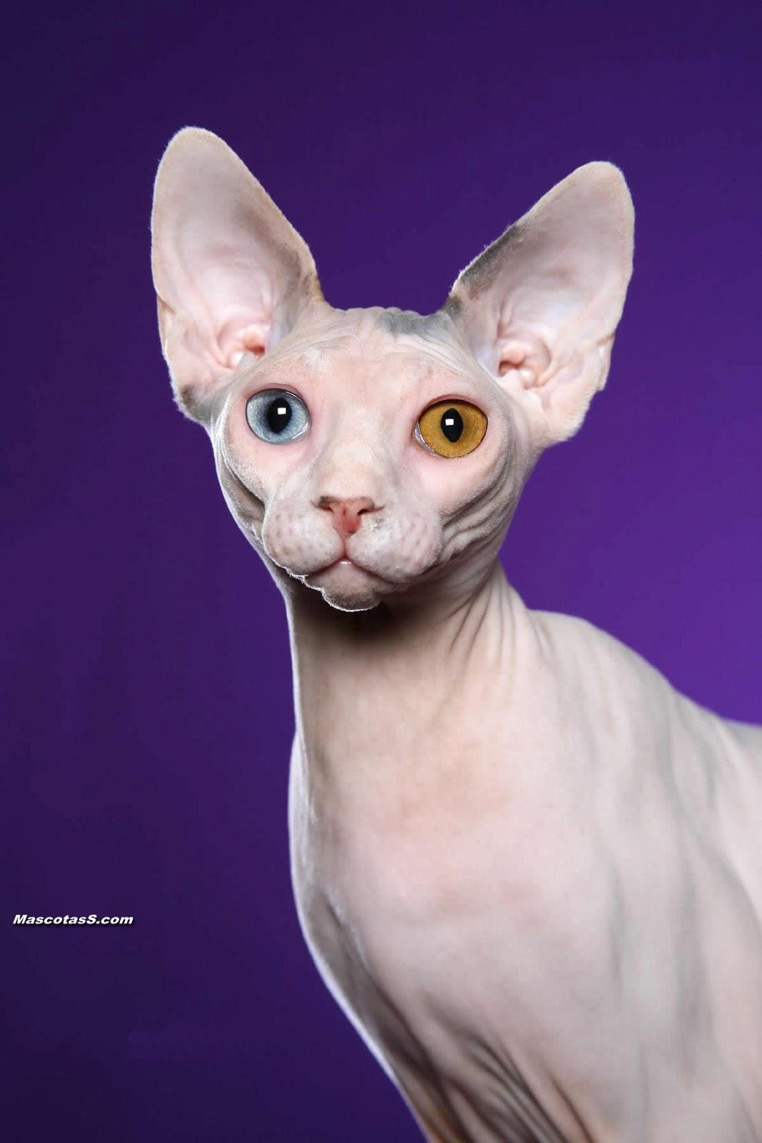 Egyptian Sphynx Cat For Sale