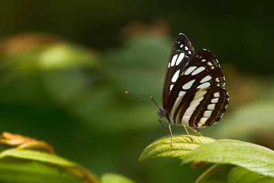 A Photograph of the Common Sailor Butterfly (Neptis hylas) taken in Thalangama, Sri Lanka