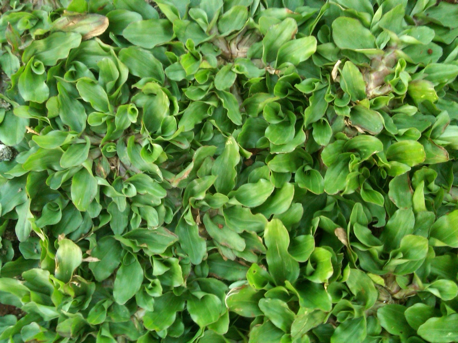 Jual Rumput Golf | Rumput Jepang | Pembuatan Taman | tukang taman | Tanaman berkwalitas