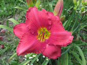 New Every Morning Daylily Gardens