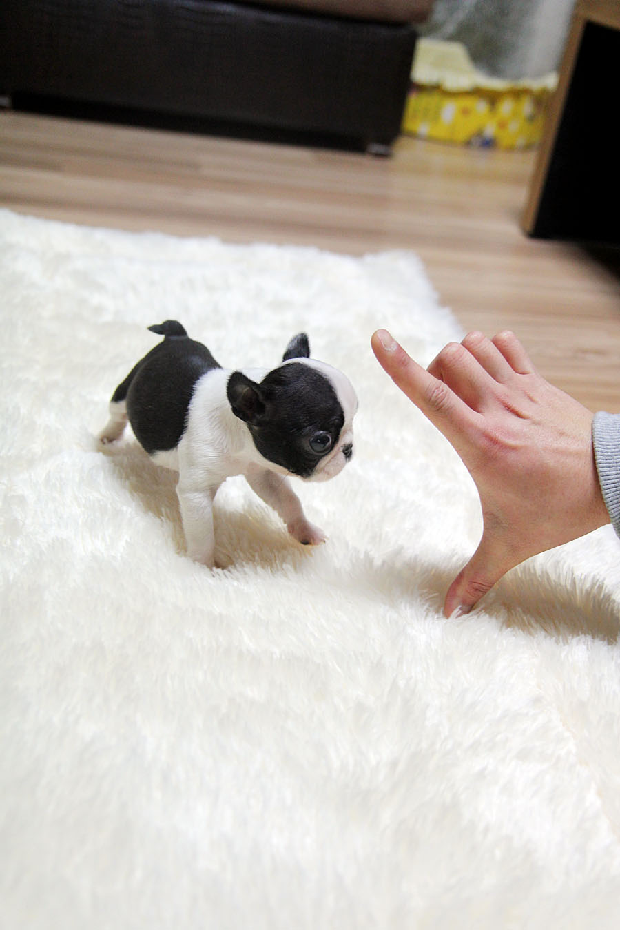 TEACUP PUPPY: ★Teacup puppy for sale★ French bulldog Bianco. | 900 x 1350 jpeg 114kB