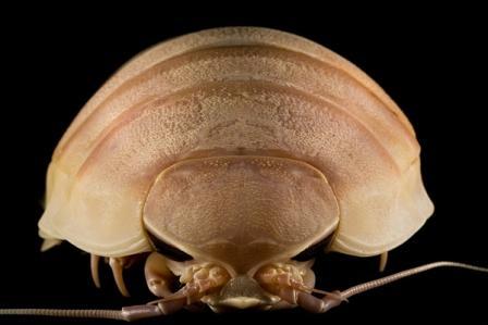 Giant Isopod Edible Giant isopodGiant Isopod Edible
