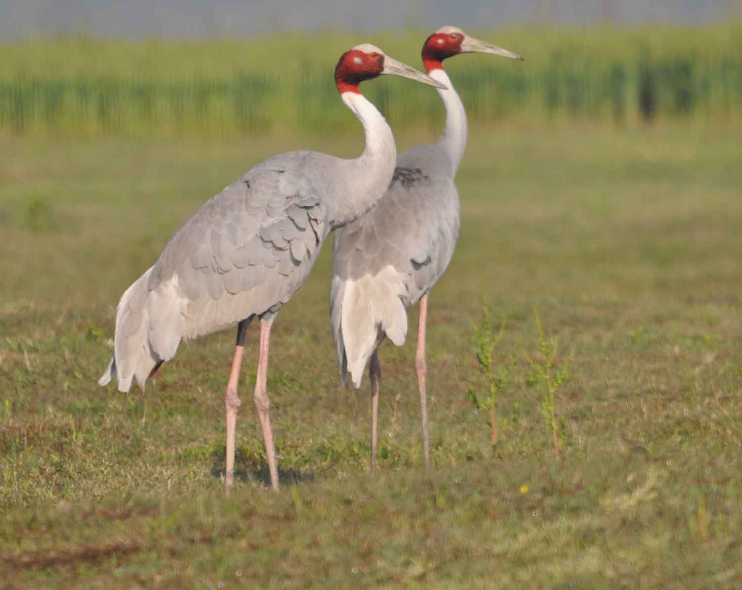 hindu single women in crane Top 6 places to spot sarus crane bird in india  the 5 most unsafe indian cities for women   abduction and crimes against the working women and single girls.