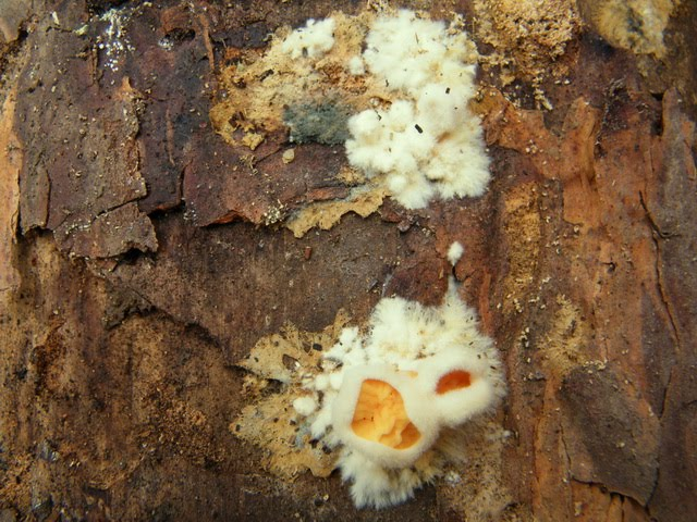 Leucogyrophana mollusca
