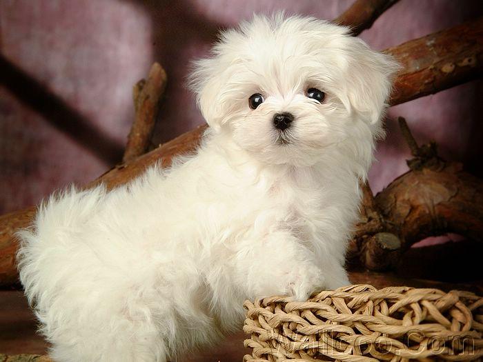 Cute White Maltese Puppies