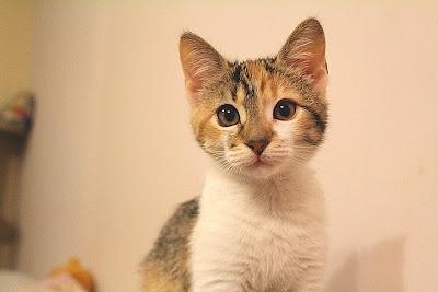 Candy - adoptie pisici