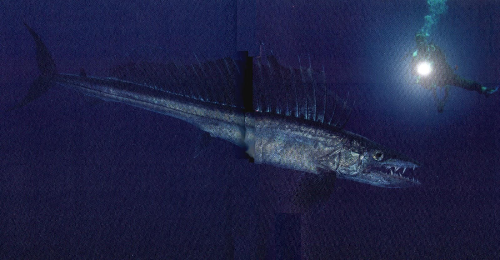 Big fishes of the world snoek barracouta thyrsites atun for Large ocean fish