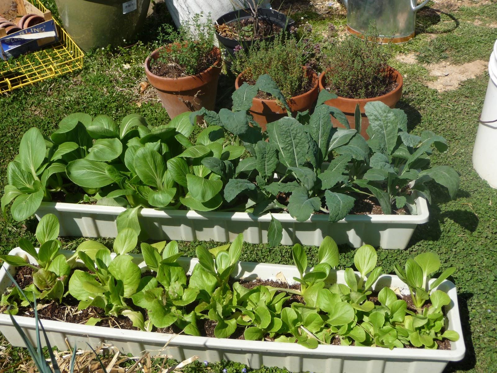 Pak Choi Seedlings Pak Choi Kle And Lettuce