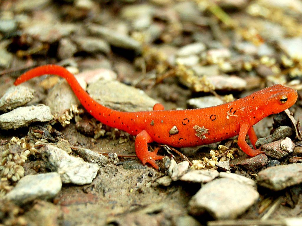 Newts Wallpapers Animals Library