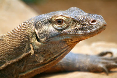 Reptiland, Allenwood PA : Komodo Dragon :: All Pretty Things