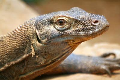 Reptiland, Allenwood PA : Komodo Dragon :: All Pretty Things