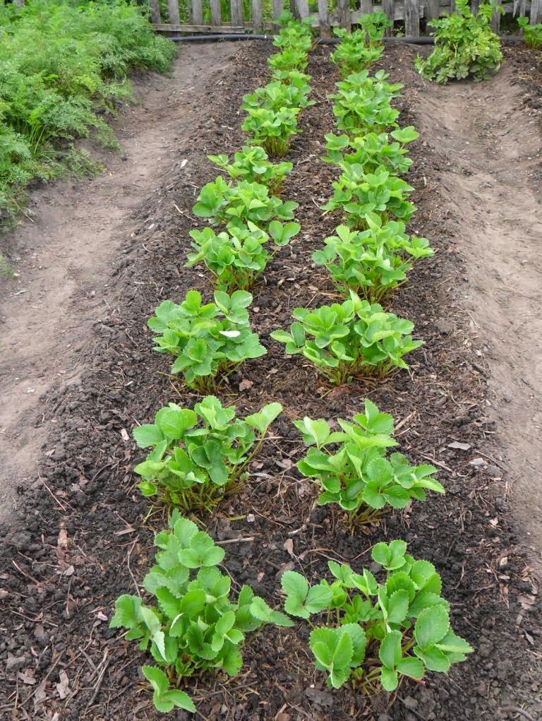 Клубника после сбора урожая постепенно восстанавливается.