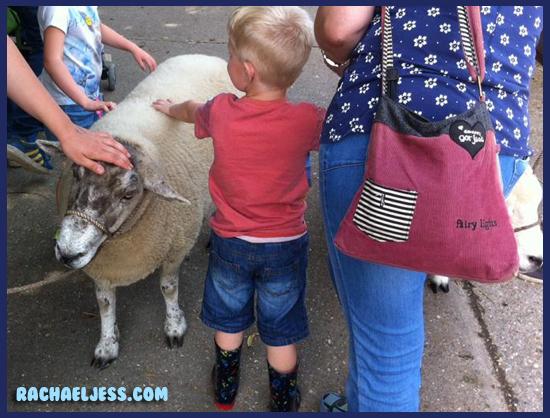 Taking the sheep for a walk... like you do