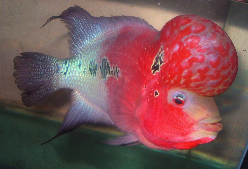 Flowerhorn are susceptible to all the same diseases as other fish ...