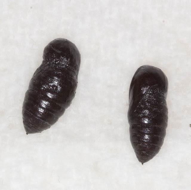 Pupae of the Muslin Moth, Diaphora mendica. Orpington Field Club AGM, BEECHE, 10 March 2012.
