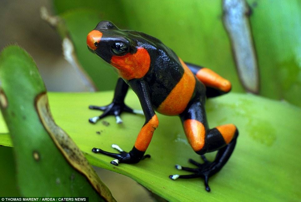 Imagenes de sapos y ranas: Rana exotica de colores negro y ...